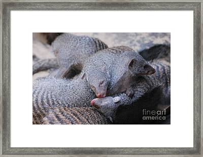 Pile Of Sleepy Mongooses Framed Print