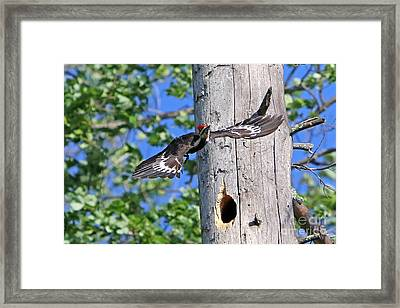 Pileated #27 Framed Print by James F Towne