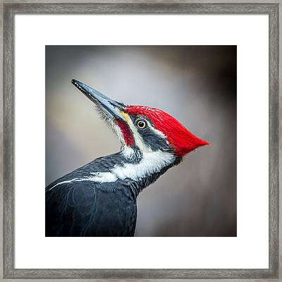 Pileated Closeup Framed Print
