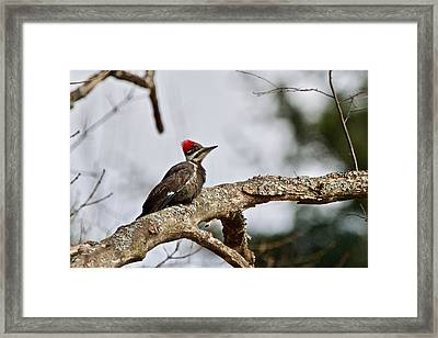Framed Print featuring the photograph pileated Woodpecker 1068  by Michael Peychich