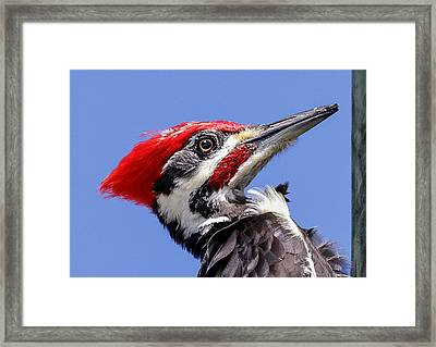 Framed Print featuring the photograph Pileated Woodpecker Headshot by Phil Stone