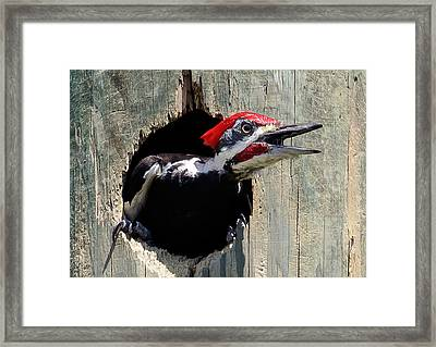 Framed Print featuring the photograph Pileated Woodpecker Looking Out by Phil Stone
