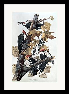 Pileated Framed Prints