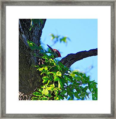 Pileated Woody Wood Pecker Framed Print by Robert Pearson