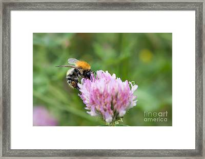 Pillination - Bumble-bee In Bloom Framed Print