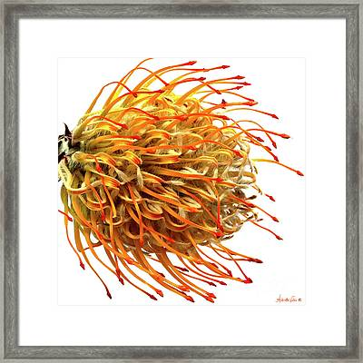 Pin Cushion Protea Framed Print