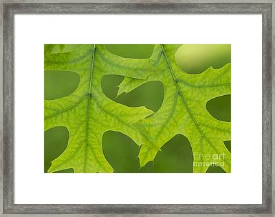 Pin Oak Leaves Framed Print by Tim Gainey