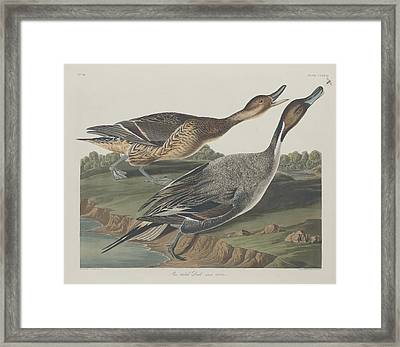 Pin-tailed Duck Framed Print by Dreyer Wildlife Print Collections