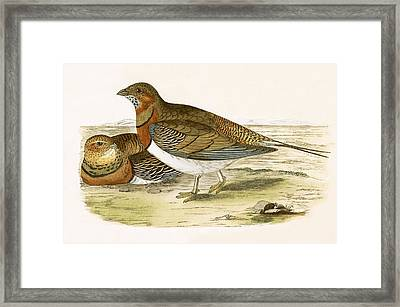 Pin Tailed Sand Grouse Framed Print
