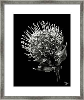 Pincushion Protea In Black And White Framed Print