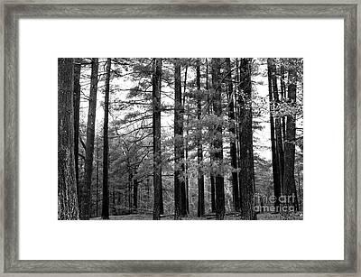 Pine Barrens Framed Print by John Rizzuto