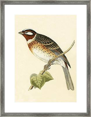 Pine Bunting Framed Print by English School