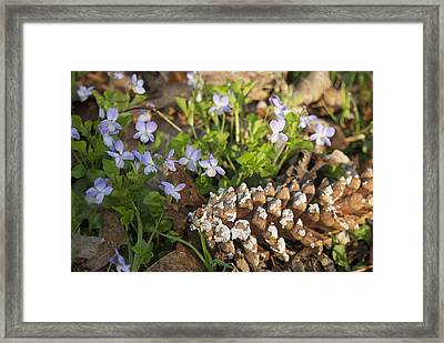 Pine Cone And Spring Phlox Framed Print by Michael Peychich