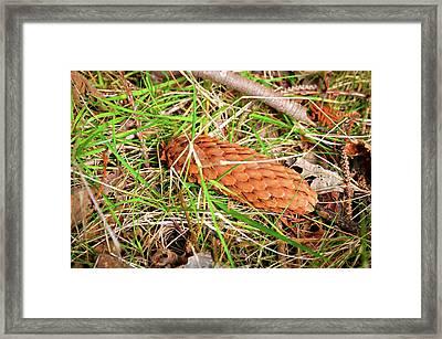 Pine Cone In Grass Framed Print by Robert Chlopas