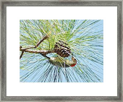 Pine Cone Pecking Framed Print