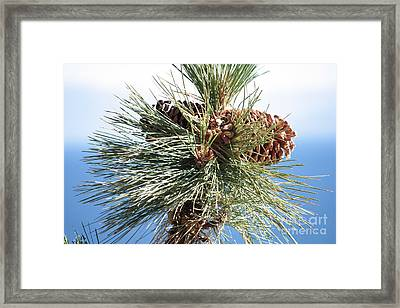 Pine Cones Over Lake Tahoe Framed Print by Carol Groenen