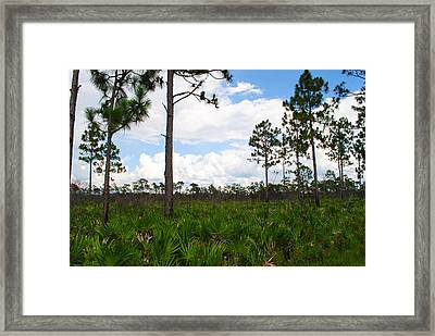Pine Flatwoods Framed Print by Steven Scott