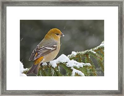 Pine Grosbeak-female In The Winter Storm Framed Print
