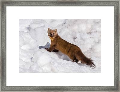Pine Marten In Snow Framed Print by Yeates Photography