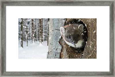 Pine Marten In Tree In Winter Framed Print