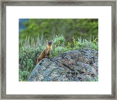 Framed Print featuring the photograph Pine Marten With Attitude by Yeates Photography