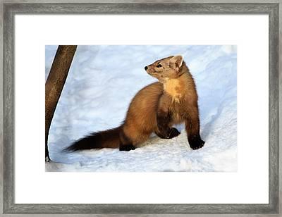 Pine Martin Framed Print