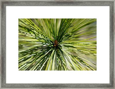 Pine Needles Framed Print