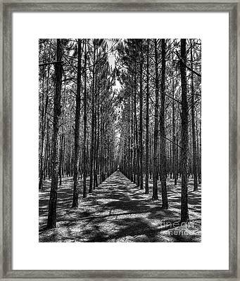 Pine Plantation 5655_6_7 Framed Print