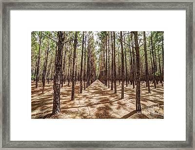 Pine Plantation Wide Color Framed Print