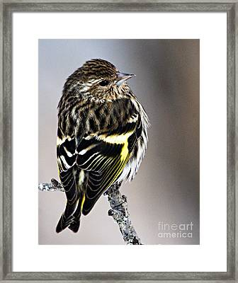 Pine Siskin Framed Print by Larry Ricker