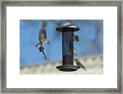 Pine Siskin Squabble Framed Print