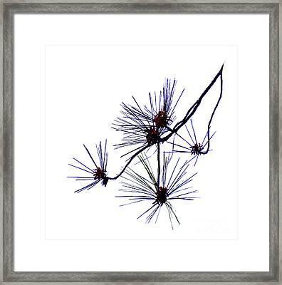 Pine Straw Framed Print by Skip Willits