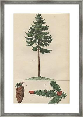 Pine Tree And Cone Framed Print