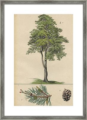 Pine Tree And Pine Cone Framed Print