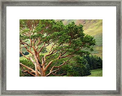 Pine Tree At Wicklow Mountains. Ireland Framed Print by Jenny Rainbow