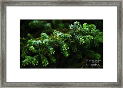 Pine Tree Branch Framed Print