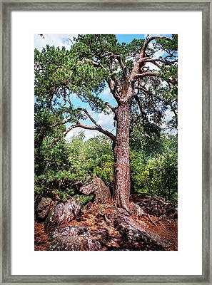 Pine Tree On Rocks Framed Print