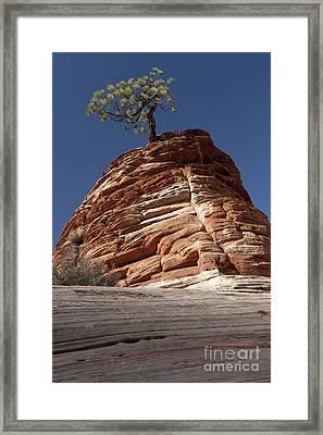 Pine Tree On Sandstone Framed Print by Sandra Bronstein