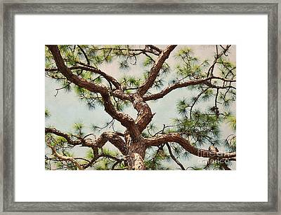Pine Tree Framed Print by Rose  Hill