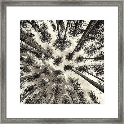 Pine Tree Vertigo - Square Sepia Framed Print by Adam Pender