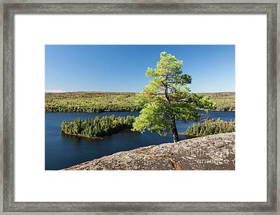 Pine Tree With A View Framed Print