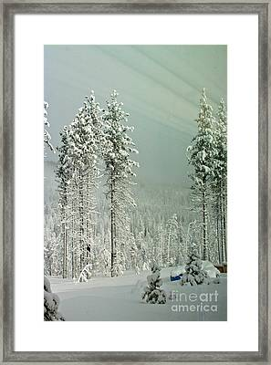 Pine Trees After The Angora Fire Framed Print by Paula Deutz