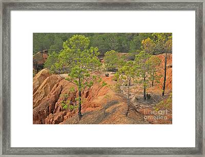 Pine Trees And Forest Framed Print