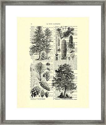 Pine Trees Study Black And White  Framed Print by Madame Memento