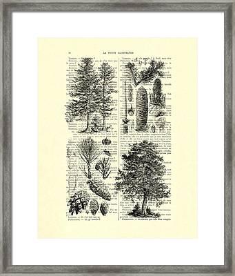 Pine Trees Study Black And White  Framed Print
