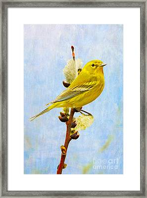 Pine Warbler On Willow Catkin Framed Print