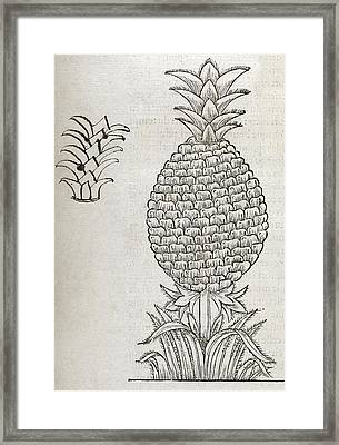 Pineapple, 16th Century Artwork Framed Print by Middle Temple Library