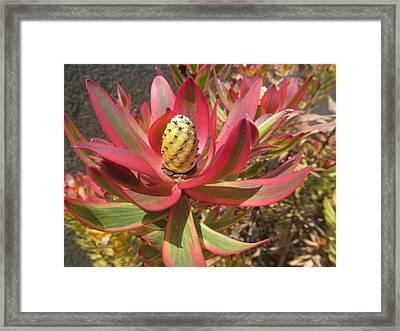 Pineapple King Flower Framed Print by Tina M Wenger