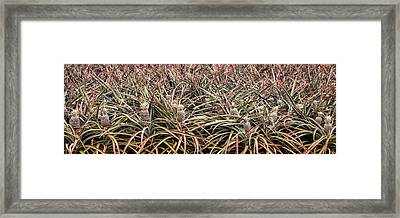 Pineapple Pano Framed Print by Heather Applegate
