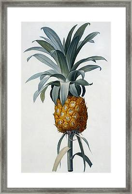 Pineapple Framed Print by Pierre Joseph Redoute